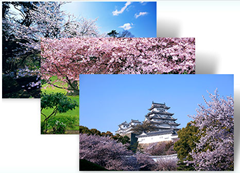 Cherry Blossom Windows 7Theme